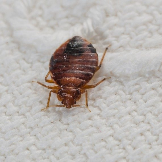 Bed Bugs, Pest Control in Beddington, SM6. Call Now! 020 8166 9746