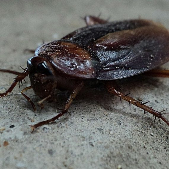 Cockroaches, Pest Control in Beddington, SM6. Call Now! 020 8166 9746