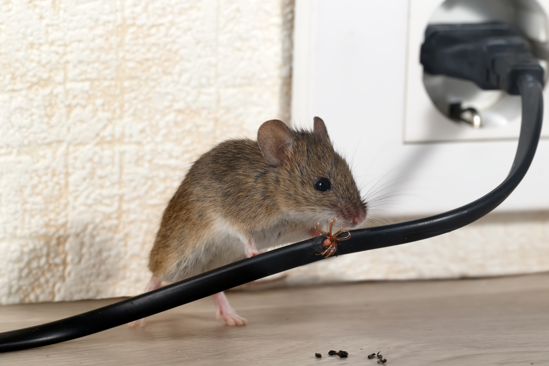 Mice Infestation, Pest Control in Beddington, SM6. Call Now 020 8166 9746