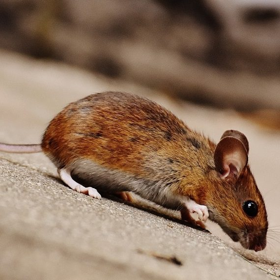 Mice, Pest Control in Beddington, SM6. Call Now! 020 8166 9746