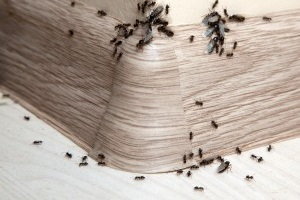 Ant Control, Pest Control in Beddington, SM6. Call Now 020 8166 9746
